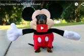 これはたまらん可愛いw ミッキーマウス!?ではなく、ミッキーダックスフンドです!
